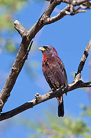 510750015 a wild male varied bunting passerina versicolor perches in a dead tree in the madera grasslands near madera canyon pima county arizona united states