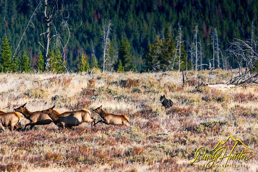 Black Wolf of the Canyon Pack chases elk in Yellowstone National Park. I was photographing elk in the Yellowstone backcountry when the wolves showed up with a big appetite. <br />