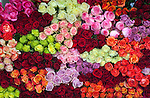 Different colored roses are layered together on a rose farm in Latacunga, Ecuador.