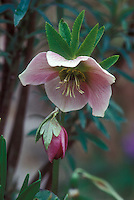 Helleborus hybridus Old Chintz pink hellebore flowers and bud