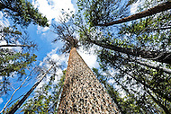 Boreal forest canopy