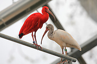 African spoonbill (Platalea alba) and Scarlet ibis (Eudocimus ruber) in the Grand Serre or Great Glasshouse in the Zone Guyane of the new Parc Zoologique de Paris or Zoo de Vincennes, (Zoological Gardens of Paris or Vincennes Zoo), which reopened April 2014, part of the Musee National d'Histoire Naturelle (National Museum of Natural History), 12th arrondissement, Paris, France. Picture by Manuel Cohen