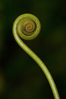 Fiddlehead fern shoot near to the interoceanic Highway near Quincemil, Peru