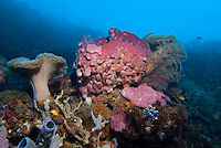 Dongala, Central Sulawesi, Indonesia, November 2010. Colourful soft and hard corals line the sea bottom. Being directly situated at the headland of the picturesque Bay of Palu, Central Sulawesi, Dongala is the perfect place to spend some time diving the cristal clear waters over the tropical coral reefs. Photo by Frits Meyst/Adventure4ever.com