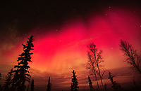 Rare red aurora borealis over spruce and birch trees in Fairbanks, Alaska.