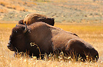 Bison at Rest, Lamar Valley, Yellowstone National Park, Wyoming