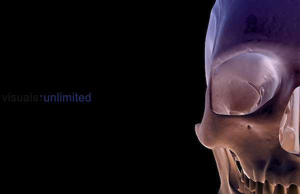 An anterior view of the bones of the face. Royalty Free