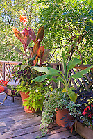 Canna , banana, annual foliage plants and flowers in container pots garden on summer deck under wisteria