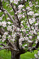 Pink and white apple blossoms on apple trees in an apple orchard in spring.