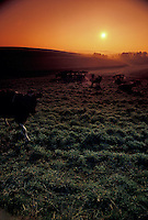 Early morning sunrise dairy cows cattle resting in green frosty field.