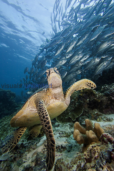 Green Sea Turtle (Chelonia mydas) swimming near a school of Bigeye Jacks (Caranx sexfasciatus), Sipidan Island, Malaysia.