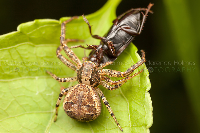 Ground Crab Spider (Xysticus ferox) - Female with its newly caught beetle prey, Ward Pound Ridge Reservation, Cross River, New York