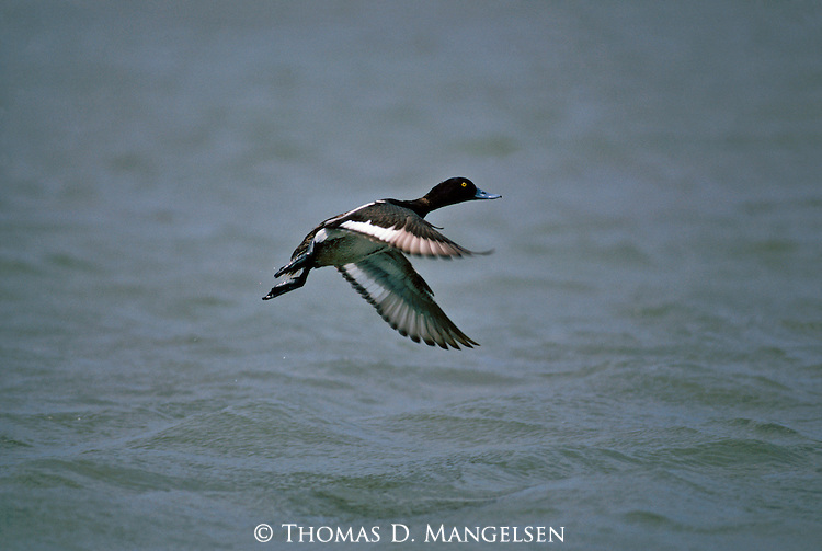 A bluebill duck takes off from a body of water in Texas.
