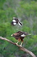 541950100 a wild harris hawk parabuteo unicinctus perches on a dead snag while being harrassed by a northern mockingbird mimus polyglottos on santa clara ranch starr county texas