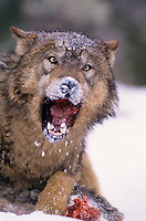 694926283 a captive gray wolf  canis lupus lays in a snowbank defending a deer carcass by snarling at an intruder and baring its fangs in central montana
