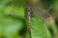 Hudsonian Whiteface (Leucorrhinia hudsonica) Dragonfly - Female, Algonquin Provincial Park, Nipissing County, Ontario, Canada