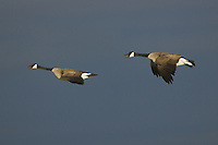Pair of Canada Geese flying over an icy marsh