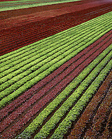 RED & GREEN CURLY LEAF LETTUCE grows in the rich farmland of CENTRAL CALIFORNIA