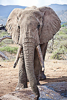 An African elephant with large heavy tusks on the savanna, Kenya, Africa (photo by Wildlife Photographer Matt Considine)