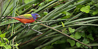 Painted Bunting male moving in/around some Hesperaloe &amp; wild thorny vines.<br />