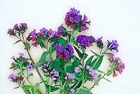 Pulmonarias, studio shot, mixed flowers and leaves foliage, ready for pressing against white background, cut flower arrangement in spring