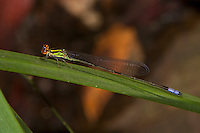 Male Sprite Damselfly (Pseudagrion hageni), South Africa.