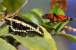 Giant Swallowtail and Monarch, Papilio cresphontes, Danaus plexippus, Southern California