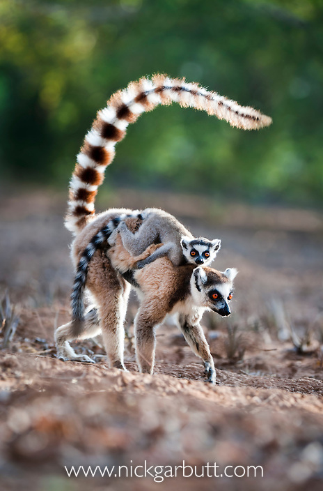 Adult female Ring-tailed Lemur (Lemur catta) carrying its infant (4-5 weeks of age) across an open area within the forest. Gallery forest, Berenty Reserve, southern Madagascar.