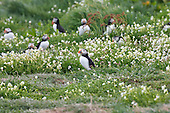 Atlantic Puffin (Fratercula arctica) surrounded by Sea Campion flowers at the entrance to a breeding burrow. Bright colouring dominates the bird in the breeding season as in this image. Puffins have burrows in which they lay their eggs, and raise their young.