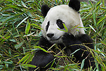 Giant Panda, Ailuropoda melanoleuca, feeding on bamboo, Wolong Research and Conservation Centre, Sichuan (Szechwan) Province Central China, can handle bamboo with great dexterity with extended sesamoid bone in wrist which acts like false thumb, reserve, breeding centre, captive, captivity, asia, asian, black, white, chinese, fur, furry, bears, pandas, patterns, omnivores, snow.China....