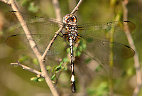 339830002 a wild female pale-faced clubskimmer brechmorhoga mendax perches on a small branch at hornsby bend in austin travis county texas united states