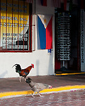 A pair of the famous Key West chickens browses in front of a local souvenir shop.  Key West, Florida, USA.