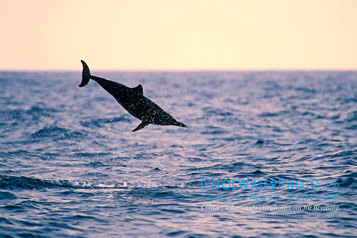 long-snouted spinner dolphin, leaping at sunset, Stenella longirostris, Kealakekkua Bay, Big Island, Hawaii, USA, Pacific Ocean