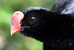 Razor Billed Curassow, Mitu tuberosa, captive, Peru, portrait, showing red beak. .South America....