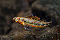 Gilt Darter<br />