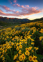 A blanket of yellow balsomroot, aka mule ear, wildflowers cover the hillside at sunset in East Canyon of the Wasatch Mountains near Salt Lake City, Utah.