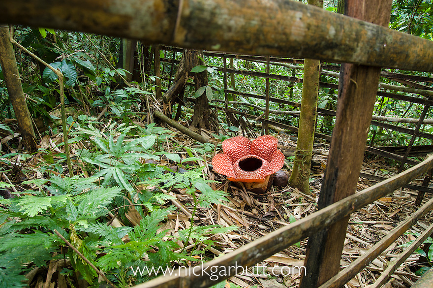 Rafflesia flower (Rafflesia keithii) in private plot. Lower slopes of Mt Kinabalu, near Poring Hot Springs, Kinabalu Park, Sabah, Borneo.