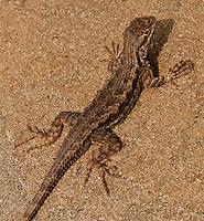 A western fence lizard, Sceloporus occidentalis, seen at Laguna Coast Wilderness Park.