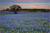 Between Seguine and Stockdale, Texas, there are several small roads that sometimes offer springtime surprises. This road offered one such gift - an amazing field of bluebonnets when there really wasn't much elsewhere. The road runs east/west, so this is about as good as you can hope for at sunrise or sunset. I was happy with this!