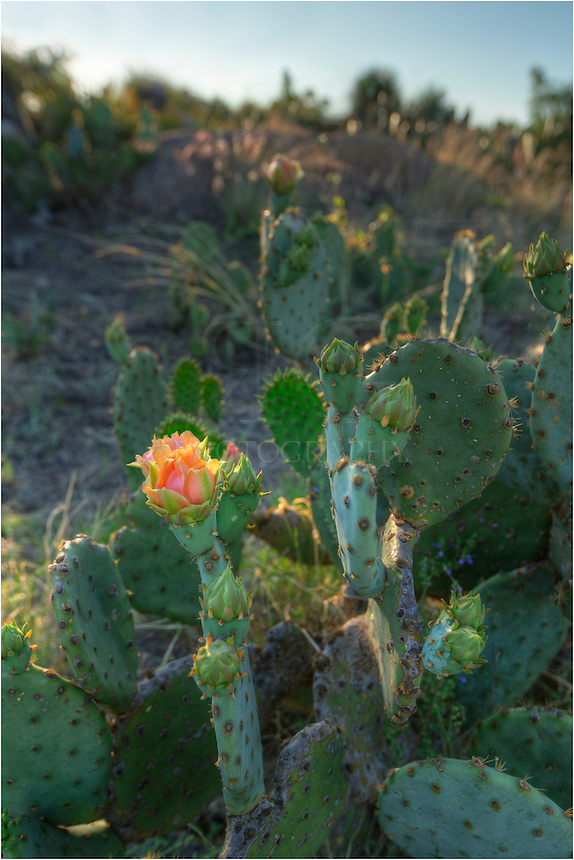 From Enchanted Rock State Park, this prickly pear bloom is actually on the granite outcrop next to the big rock - Little Rock.