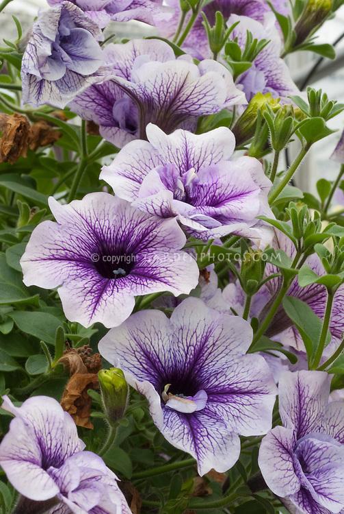 Petunia (Tumbelina) Priscilla double purple & lavender flowers with dark star in center, annual plant in bloom