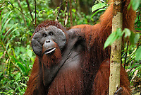Male Borneo Orangutan (Pongo pygmaeus), Camp Leaky, Tanjung Puting National Park,  Kalimantan, Borneo, Indonesia.