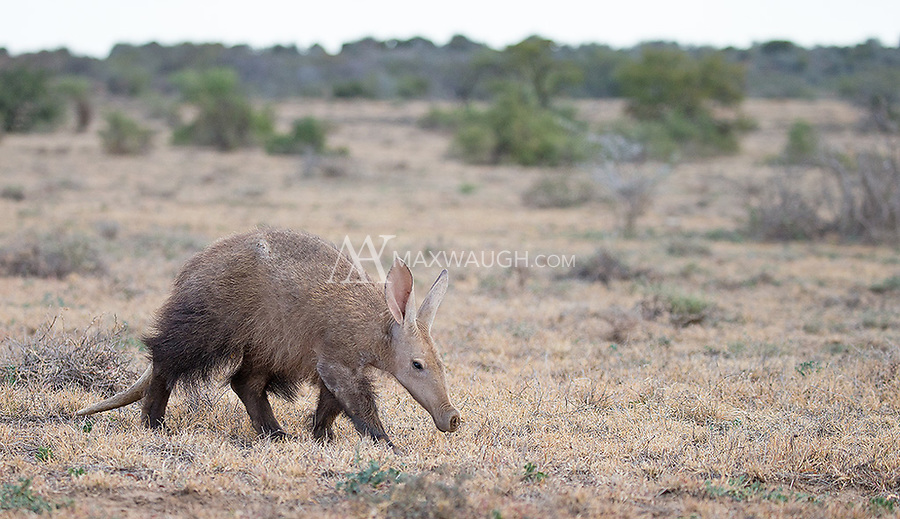 "For many photographers and wildlife enthusiasts, the aardvark is one of Africa's ""holy grail"" species.  I was fortunate to have aardvark sightings every day during my visit to Samara Private Game Reserve.  This female was particularly tolerant and cooperative during the day."