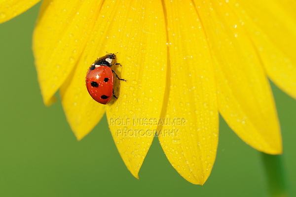 Seven-spotted Ladybug (Coccinella septempunctata), adult perched on dew covered sunflower, Dinero, Lake Corpus Christi, South Texas, USA