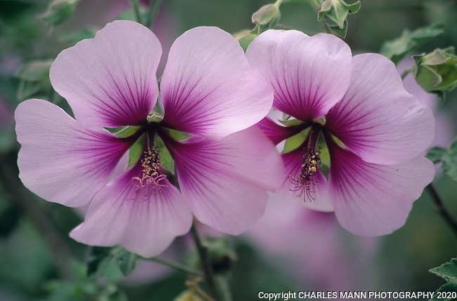 Purple Hibiscus Essay