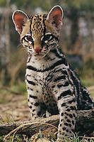 A young ocelot (captive) projects an image of innocence.