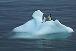 Adelie Penguins (Pygoscelis adeliae) on iceberg in the Erebus and Terror Gulf.