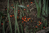 Palm oil fruits are seen on the ground at the Kerasaan palm plantation in Sumatra, Indonesia. Photo: Sanjit Das/Panos