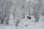 A cow moose and her young walk through the snow laden landscape in Grand Teton National Park, Wyoming.