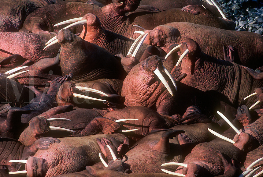 Male walrus leans against other male walrus on the shore of Round Island in the Walrus Islands State Game Sanctuary in southwest Alaska.